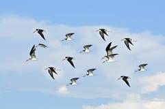 Vôo das gaivotas Fotos de Stock Royalty Free