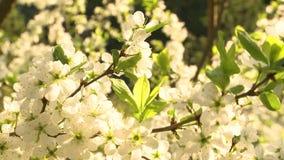 V?r Cherry Blossom lager videofilmer