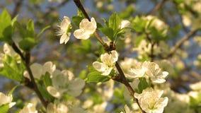 V?r Cherry Blossom arkivfilmer