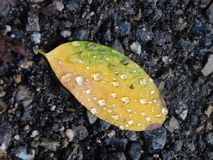 Raindrops on fallen leaf royalty free stock photos
