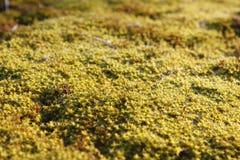 V?rbakgrund med gula blomma v?xter av guld- f?rg i tidig v?r h?rlig blommayellow Glansen av tr?sk arkivbild