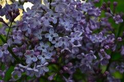V?rblommor, en lila filial med blommor och knoppar p? en bakgrund av gr?n l?vverk royaltyfri foto