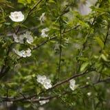 V?rblomning: filialer av att blomma ?pplet eller k?rsb?ret i parkerar Vita blommor av ett ?ppletr?d eller k?rsb?r p? a arkivbilder