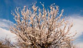 V?rblomningbakgrund Den h?rliga naturplatsen med det blommande tr?det och solen blossar solig dag fotografering för bildbyråer