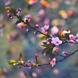 V?rblomningbakgrund H?rlig naturplats med att blomma det k?rsb?rsr?da tr?det - Sakura Abstrakt suddig bakgrund f?r frukttr?dg?rd  fotografering för bildbyråer