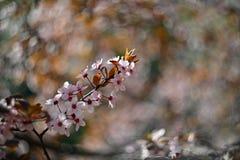 V?rblomningbakgrund H?rlig naturplats med att blomma det k?rsb?rsr?da tr?det - Sakura Abstrakt suddig bakgrund f?r frukttr?dg?rd  arkivfoto