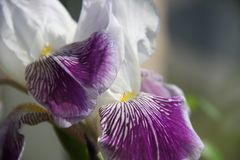 V?ren blommar i lilor arkivbild