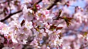 V?ren som blommar det sakura tr?det, blommar p? solig dag lager videofilmer