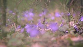 V?rprimulor i skogen arkivfilmer