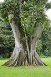 V shaped tree trunk Royalty Free Stock Photos