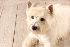 V?stra h?gland vita Terrier som ligger p? ett tr?golv close upp arkivfoto