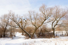 The V tree under the snow Stock Photography