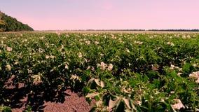 V?xa f?r potatis Rader av grönt som blommar potatisbuskar, växer på lantgårdfält Vitt blekt - rosa blommor blommar på potatisen arkivfilmer