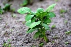 v?xande potatisar gr?na groddar Nya nya potatisar i tr?dg?rden Spirad gr?nsak arkivfoton