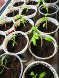 V?xande tomatplantor Gr?na v?xter f?r liten tomat - modern gr?nsakeco-produktion i ett v?xthus royaltyfri fotografi