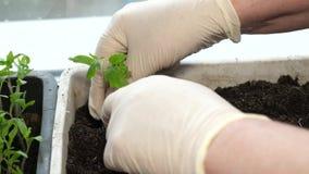 v?xande transplantat i ett v?xthus av bonden Gr?n grodd som planteras i jordning i v?xthus av kvinnors h?nder i handskar stock video
