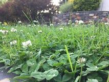 V?xt av sl?ktet Trifoliumf?lt royaltyfria foton