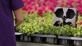 V?xthusarbetare som att bry sig f?r blommor, workflow i v?xthuset f?r v?xande blommor stock video