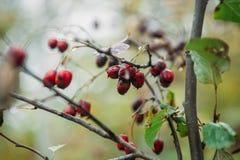 vaag defocused achtergrondlandschap met gele bladeren en rode bessen in de herfst Stock Foto's