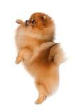 Vaardigheid bij een kleine hond royalty-vrije stock afbeeldingen