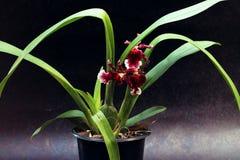Vaas van rode orchideebloem Stock Foto's