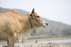 vaca à¸'crying Foto de Stock