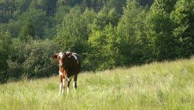 Vaca #01 Fotografia de Stock Royalty Free