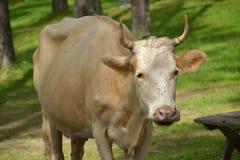 Vaca Fotos de archivo