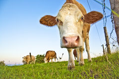 Vaca Foto de Stock Royalty Free