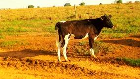 Vaca Zdjęcie Royalty Free