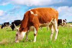 A vaca Imagens de Stock Royalty Free