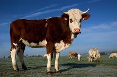 Vaca Fotografía de archivo