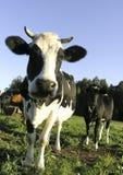 Vaca Imagens de Stock Royalty Free