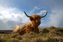 Vaca 2 de la montaña Fotos de archivo libres de regalías