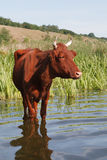 A vaca Fotos de Stock Royalty Free