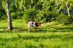Vaca Imágenes de archivo libres de regalías