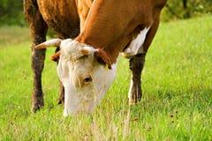 Vaca Foto de Stock