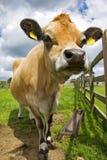 Vaca Fotografia de Stock Royalty Free