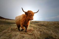 Vaca 4 das montanhas Imagens de Stock