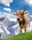 Vaca Fotos de archivo libres de regalías
