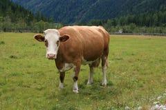 Vaca Imagen de archivo