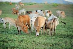 Vaca Foto de archivo libre de regalías