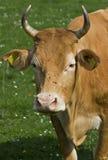 Vaca Imagens de Stock