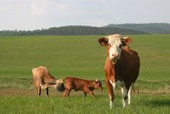 Vaca 6 Fotografia de Stock Royalty Free