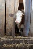 Vaca Fotografía de archivo libre de regalías