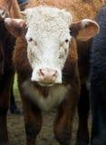 Vaca Fotos de Stock Royalty Free