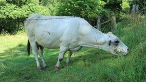 Vaca almacen de metraje de vídeo