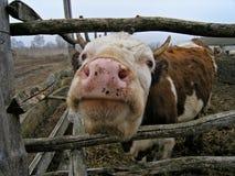 Vaca. Imagen de archivo libre de regalías