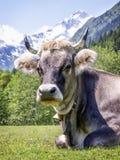 Vaca agradável imagem de stock royalty free