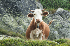 Vaca agradable, desconcertada Fotografía de archivo libre de regalías